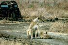Zwei Löwinen an der Wegkreuzung