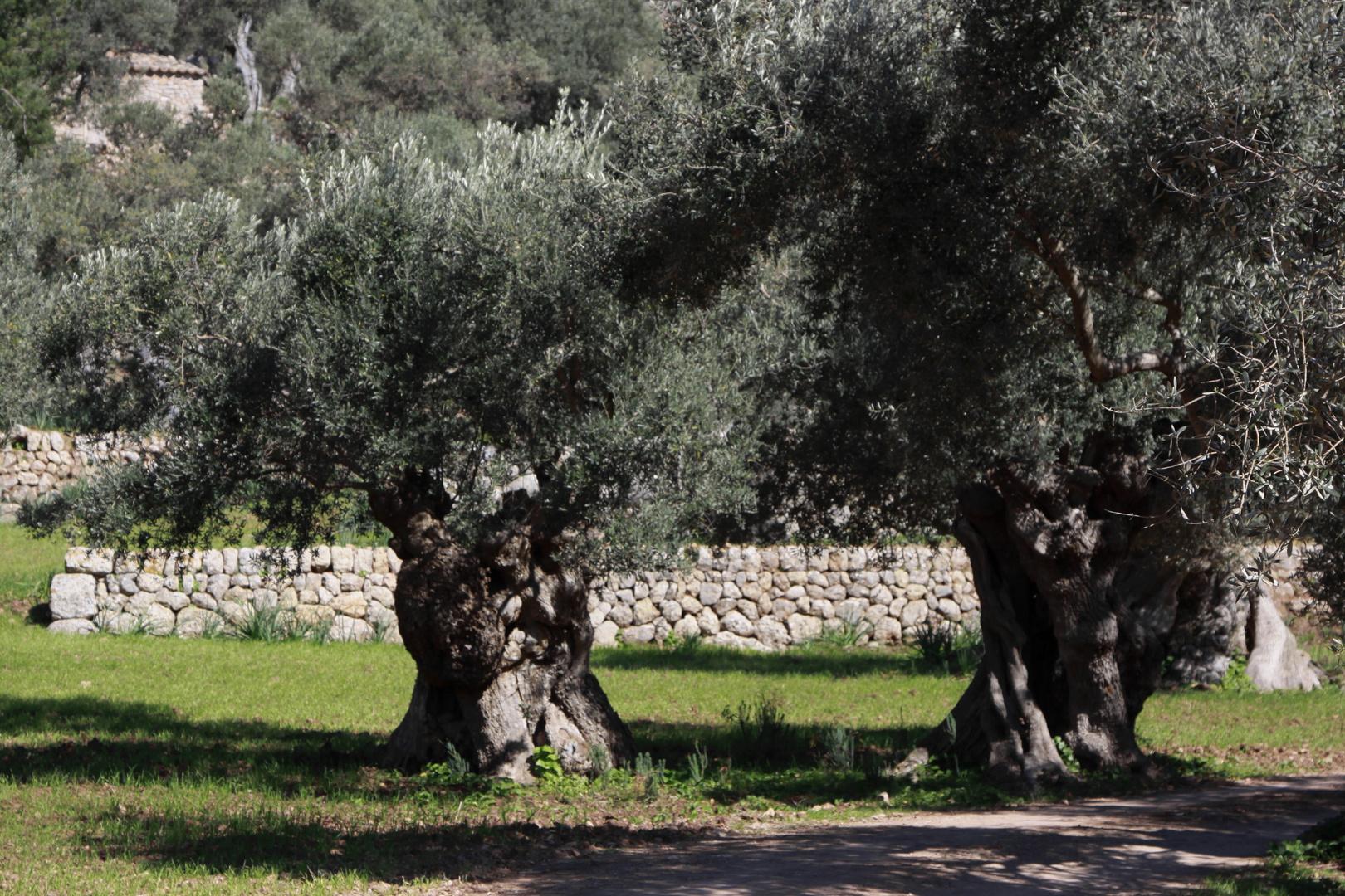 zwei olivenbäume