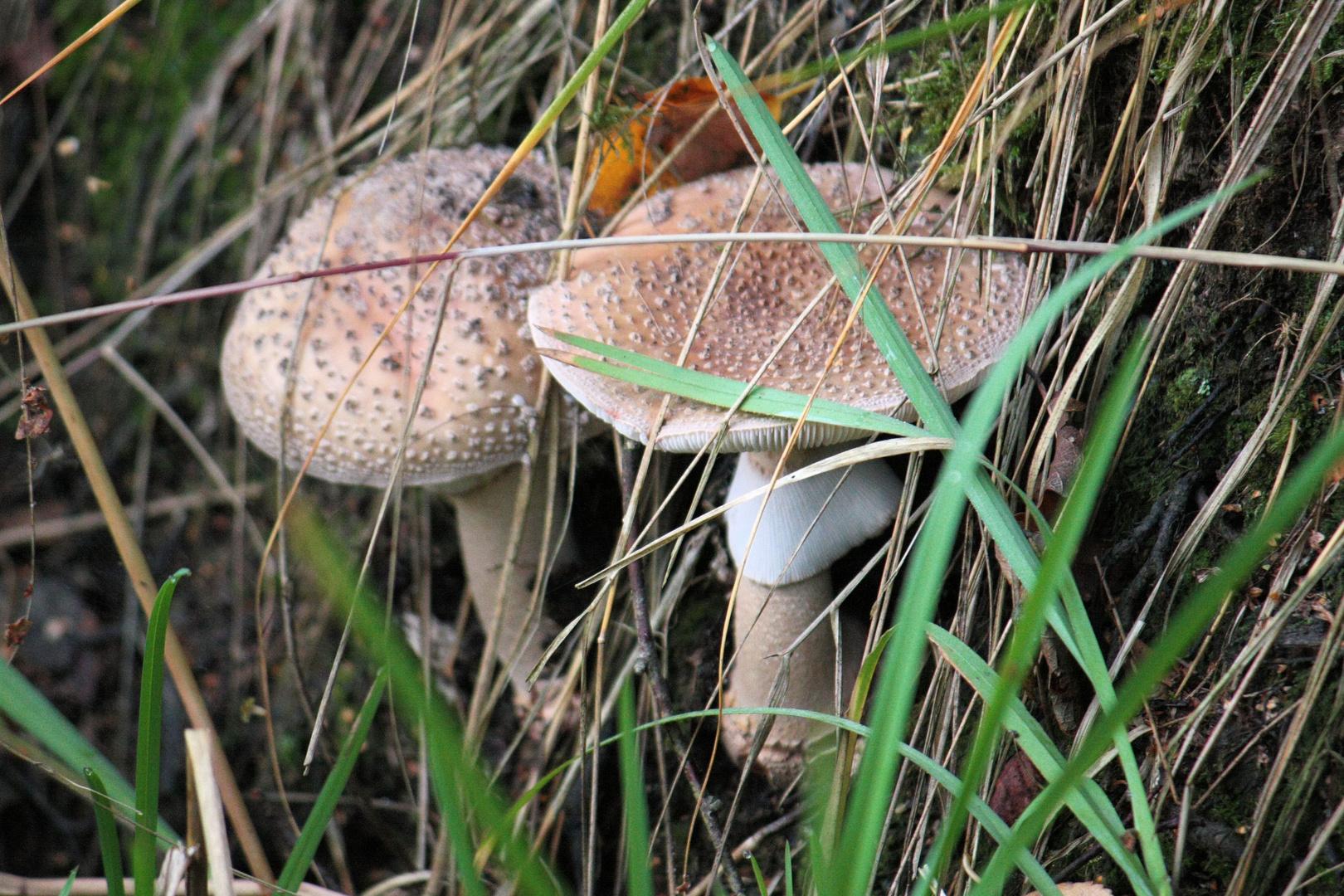 zwei Pilze