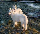 Zwei Polarwölfe (in Heimversion)