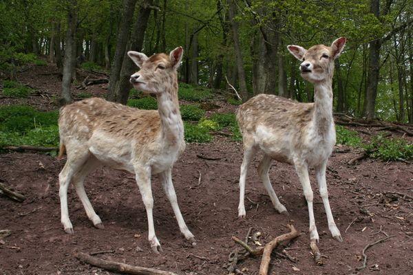 Zwei Rehe im Wald erstarrt