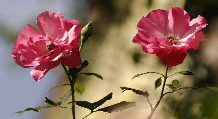 Zwei Rosen...