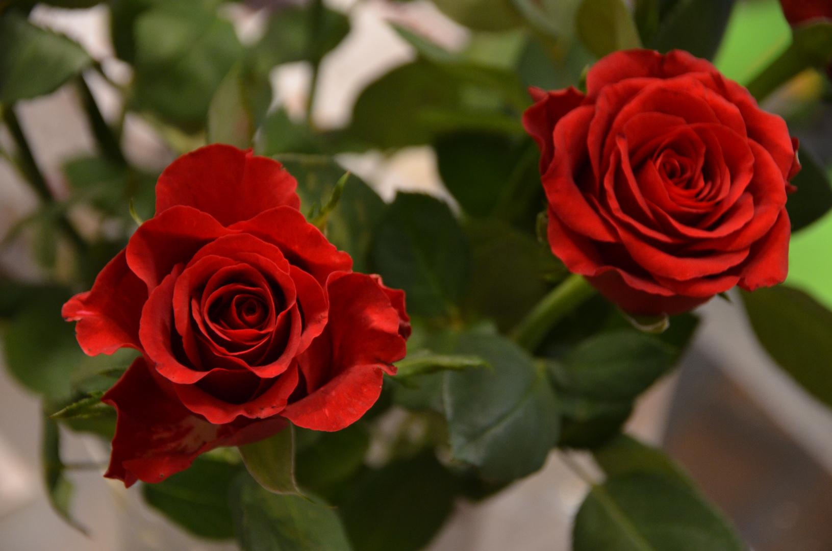 Zwei Rosen rot
