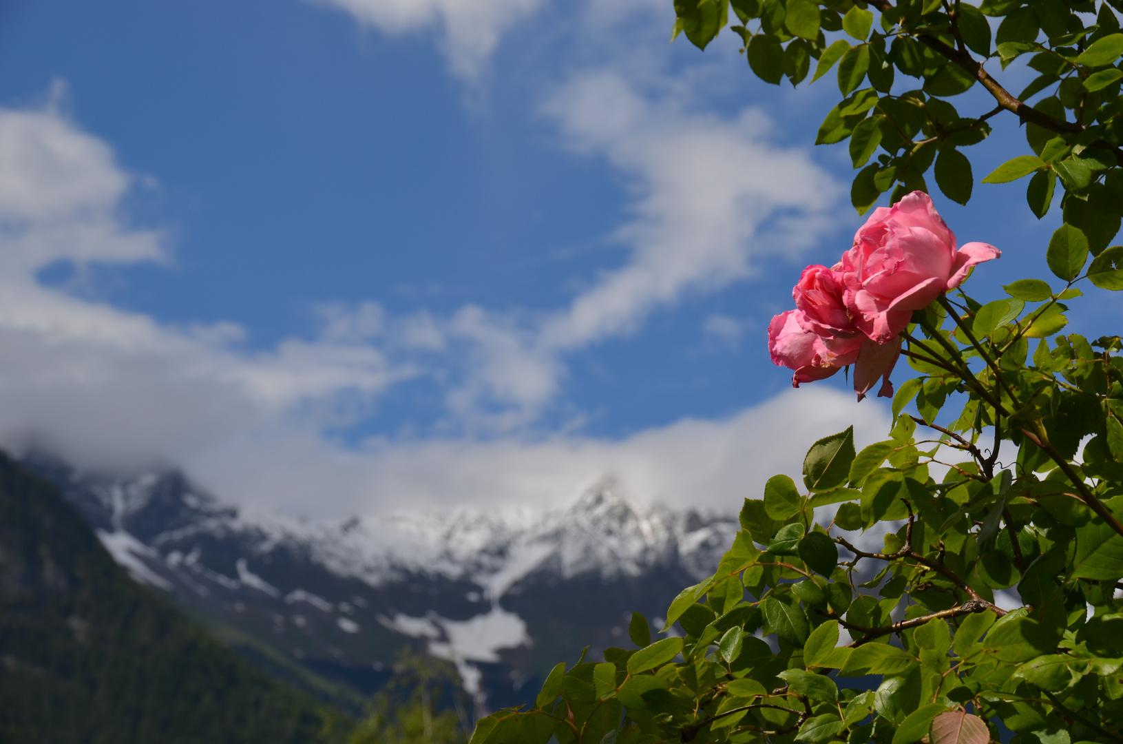 Zwei Rosen vor weißen Bergen