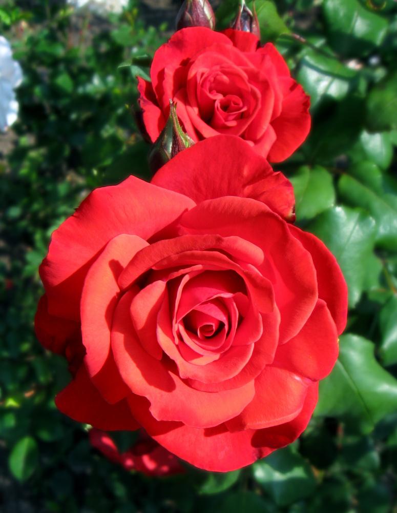 zwei rote rosen foto bild pflanzen pilze flechten bl ten kleinpflanzen rosen bilder. Black Bedroom Furniture Sets. Home Design Ideas