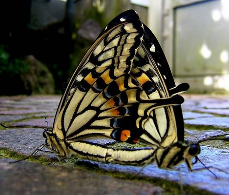 Zwei Schmetterlinge - der perfekte Auftritt