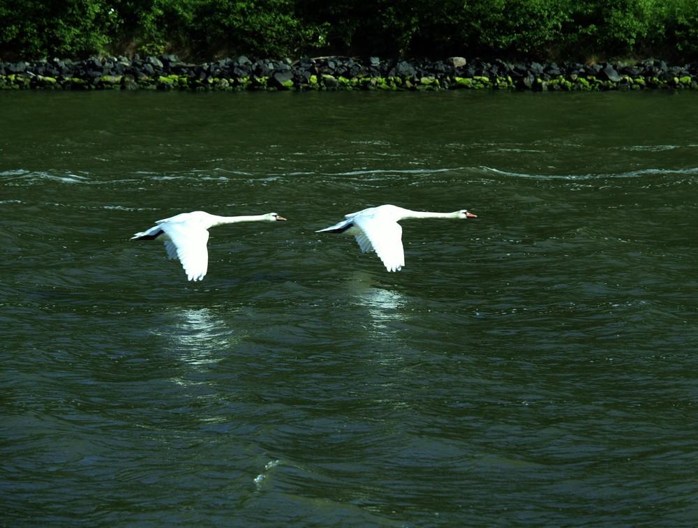 Zwei Schwäne als Tiefflieger auf dem Nord-Ostsee-Kanal