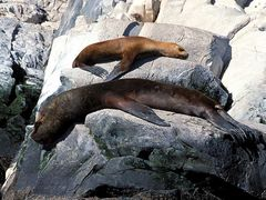 Zwei Seelöwen beim Sonnenbad, Beagle Kanal