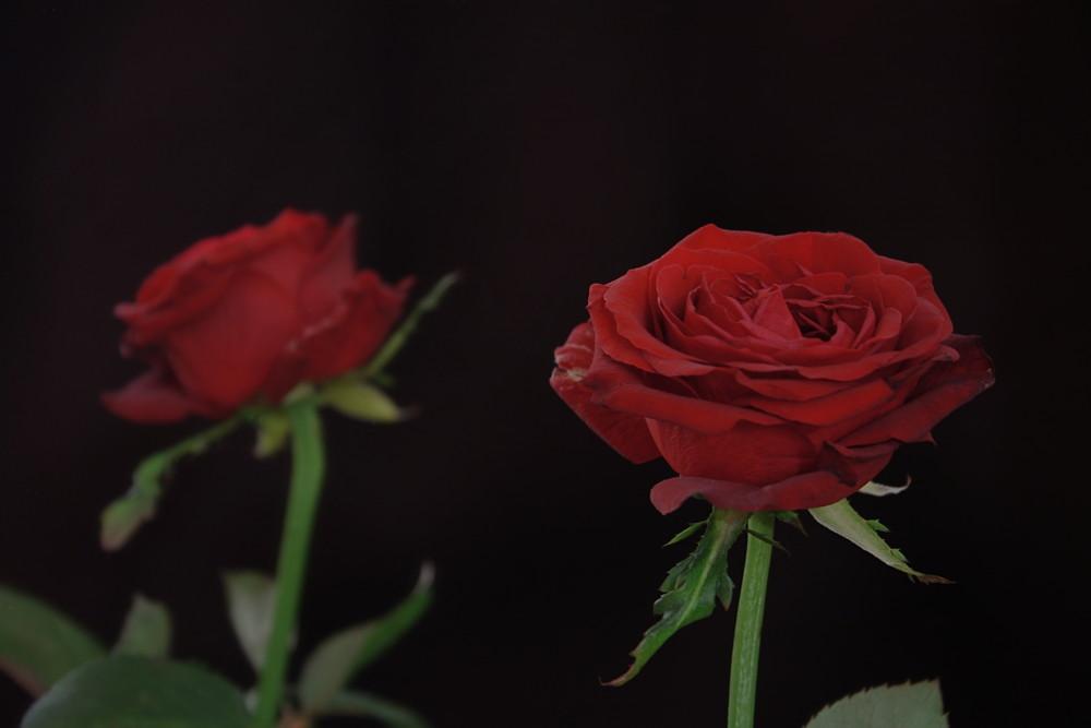 Zwei Seiten einer roten Rose