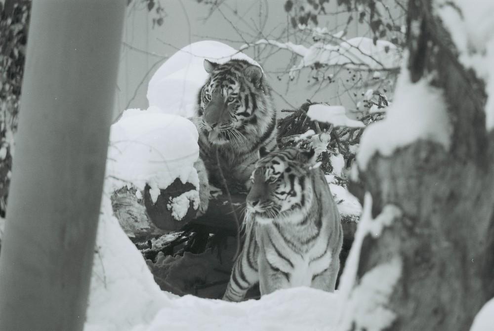 zwei sibirische Tiger