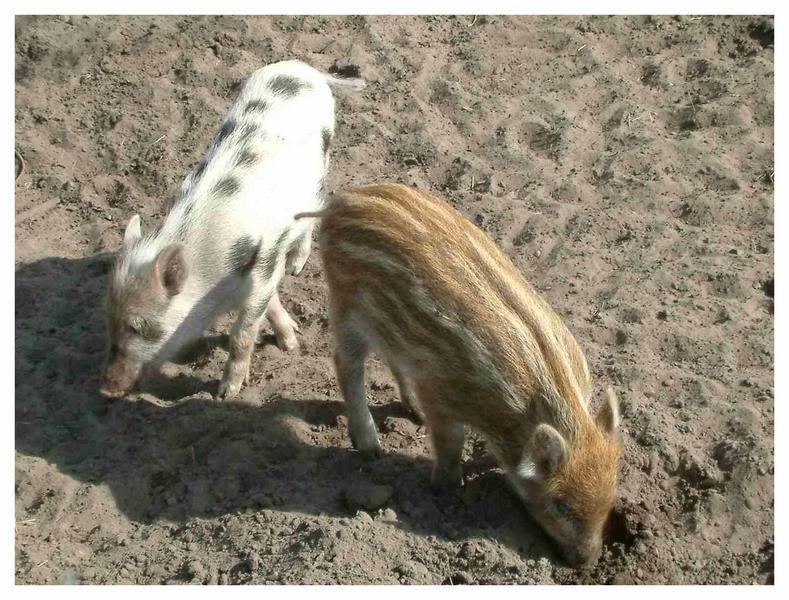 Zwei Sorten Schwein