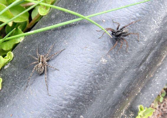 zwei Spinnen