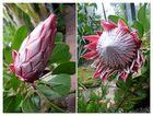 Zwei Stadien einer wunderbaren Blüte - Proteaceae - Die nationale Blume von Südafrika -