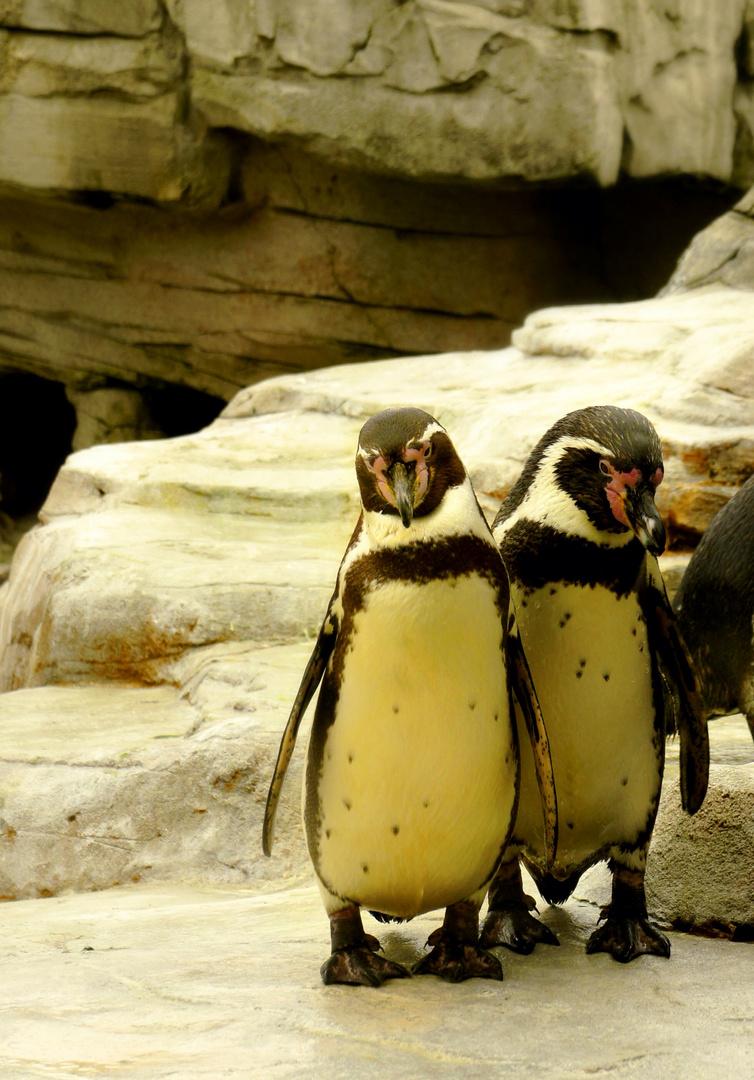 Zwei süße Pinguine posen für die Kamera :D