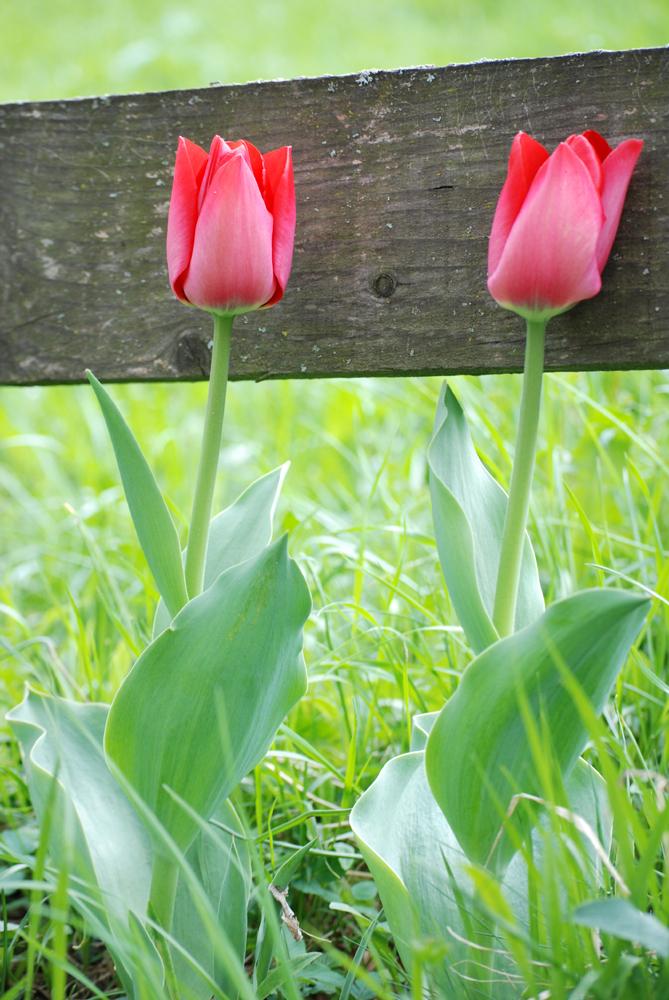 Zwei Tulpen am Wegesrand