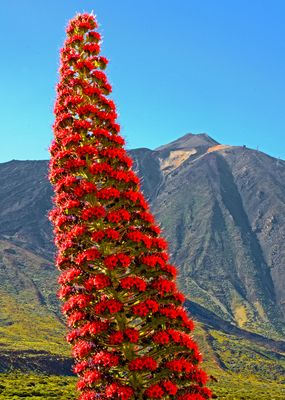 Zwei Wahrzeichen von Tenerife - Eine prächtige Tajinaste und El Teide - in den Cañadas Teneriffa