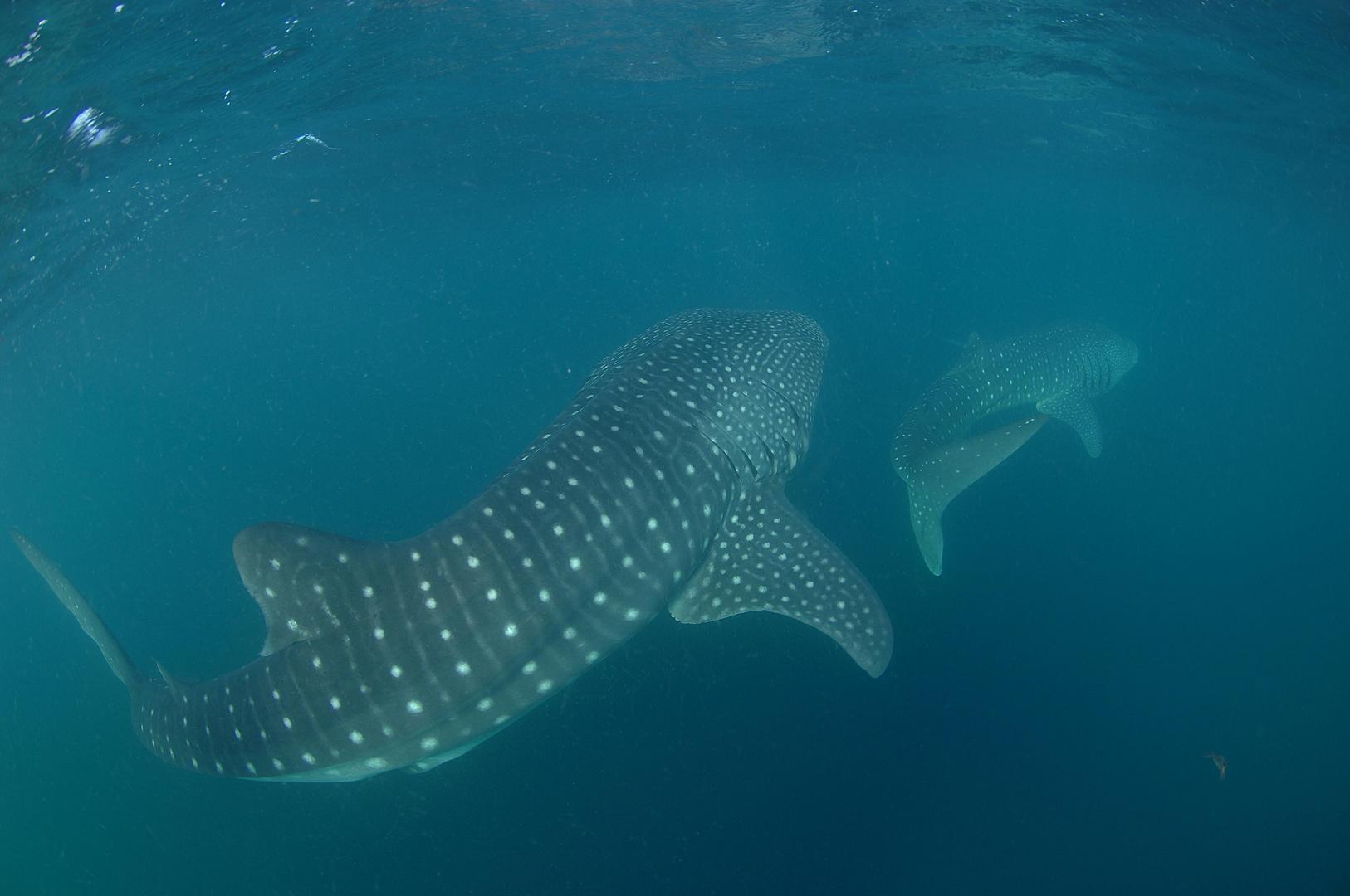 Zwei Walhaie