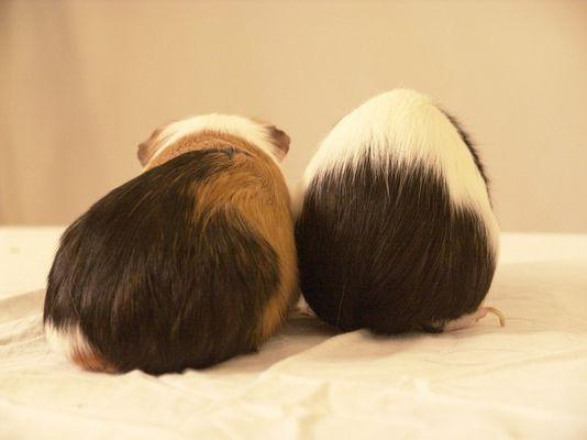Zwei Wanderschweine