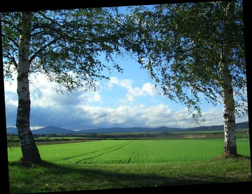 Zwei weiße Birken, das WIntergetreide und die Eifel im Blick....