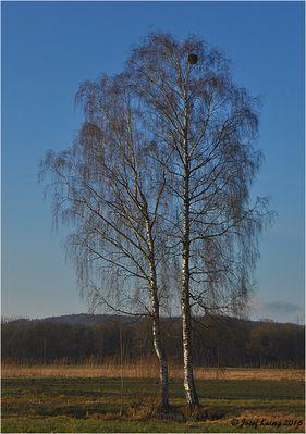 Zwei weiße Birken im Winter