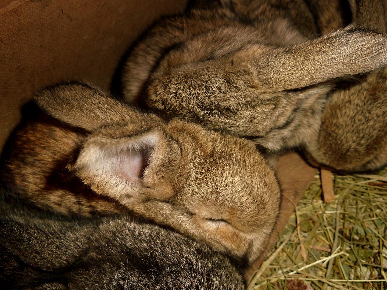Zwei Wochen alte Kanichenbabys