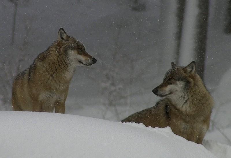 Zwei Wölfe im Schneegestöber im Nationalpark Bay. Wald