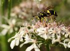 Zweiband - Wespenschwebfliege