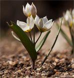 Zweiblütige Tulpe am Mittag
