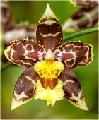 Zweifarbige Orchidee