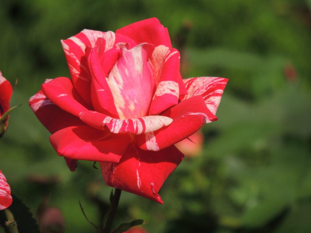 zweifarbige rose