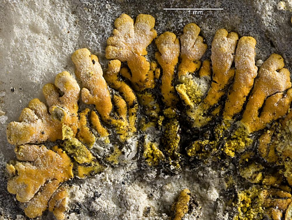 Zweifarbiger Schönfleck (Caloplaca cirrochroa)