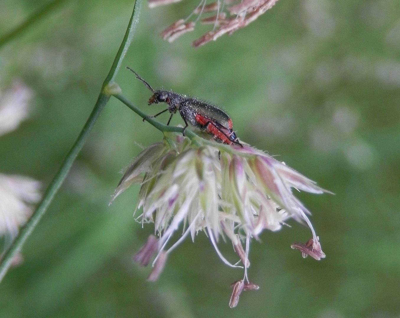 Zweifleckiger Malachitkäfer (Malachius bipustulatus) auf blühendem Gras