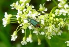 Zweifleckiger Zipfelkäfer - (Malachius bipustulatus)