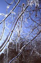 Zweige wie aus Glas