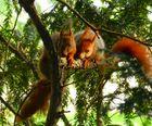 Zweighörnchen