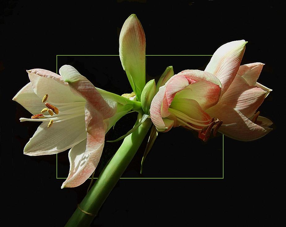 zweite Blüte