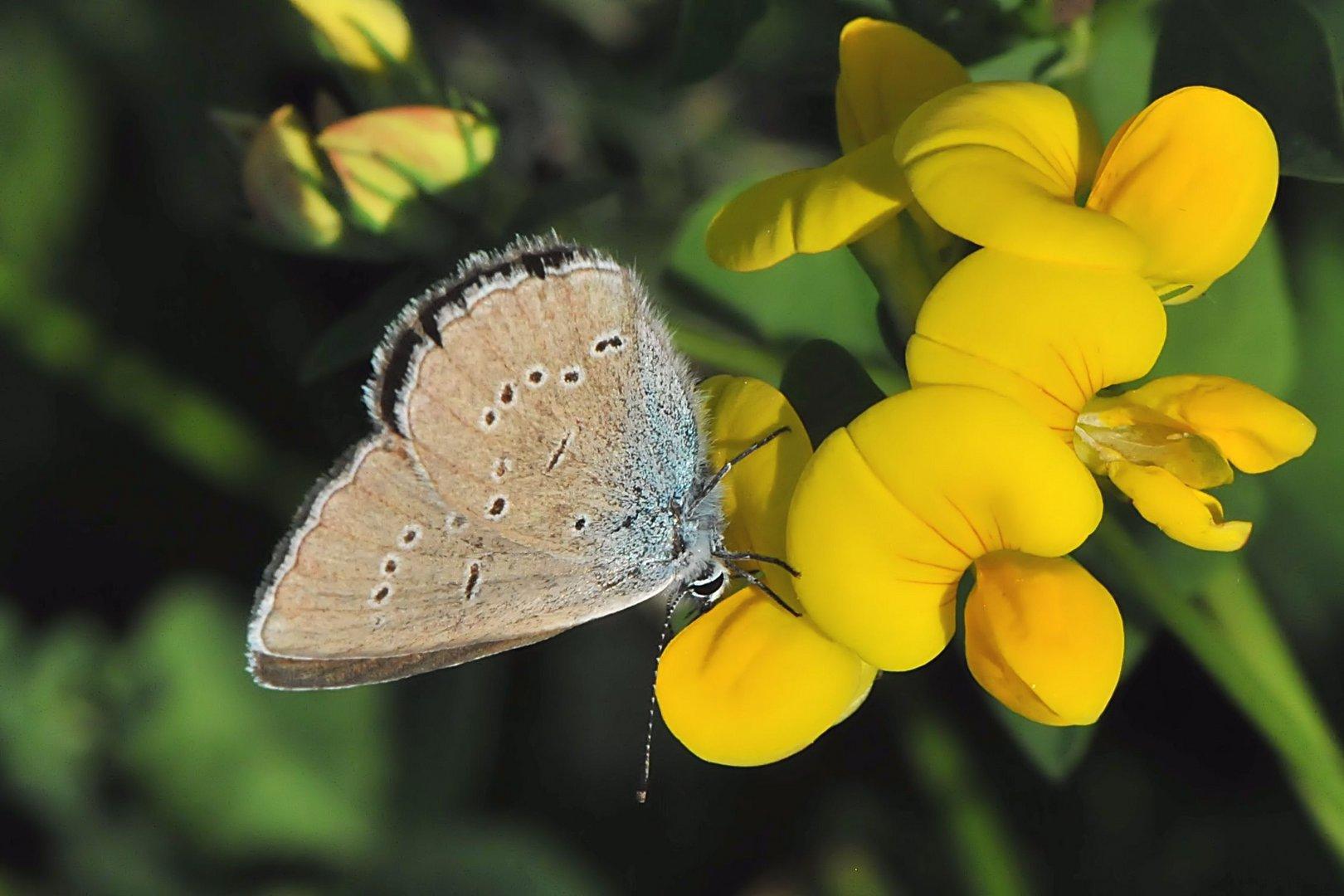 Zwerg-Bläuling  (Cupido minimus) Weibchen