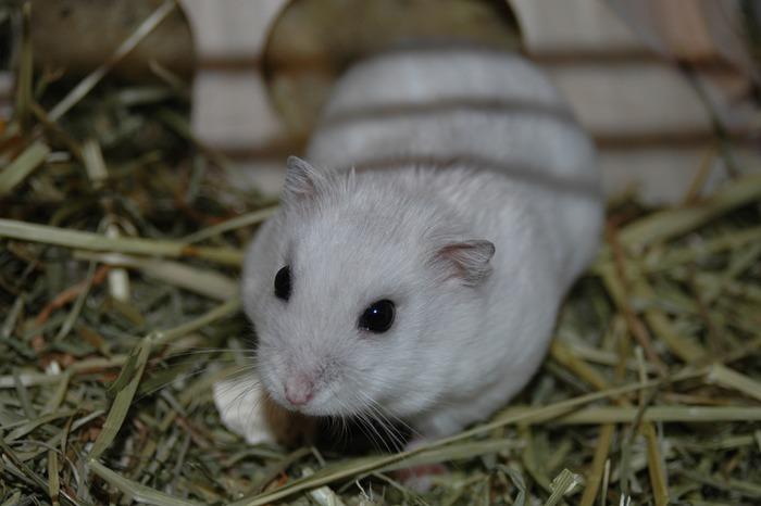 Zwerg Hamster in weiß :-)