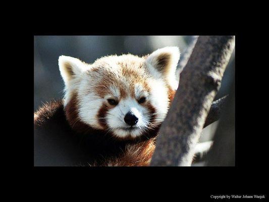 Zwerg-Panda (Katzenbär)