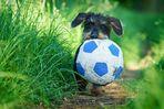 Zwergdackels Ball