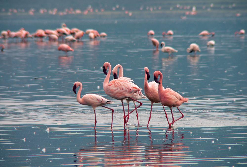 Zwergflamingos im Lake Nakuru Nationalpark, Kenia