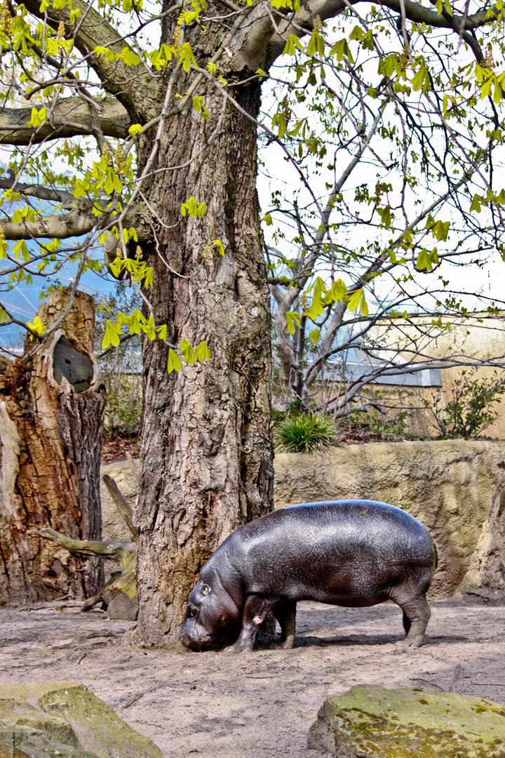 Zwergflußpferd