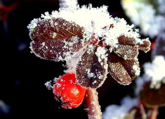 Zwergmispeln (Cotoneaster) im Winterschmuck