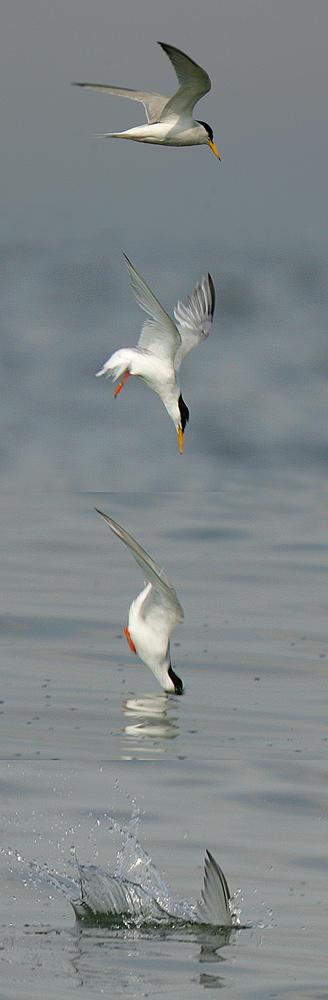 Zwergseeschwalbe im Sturzflug...