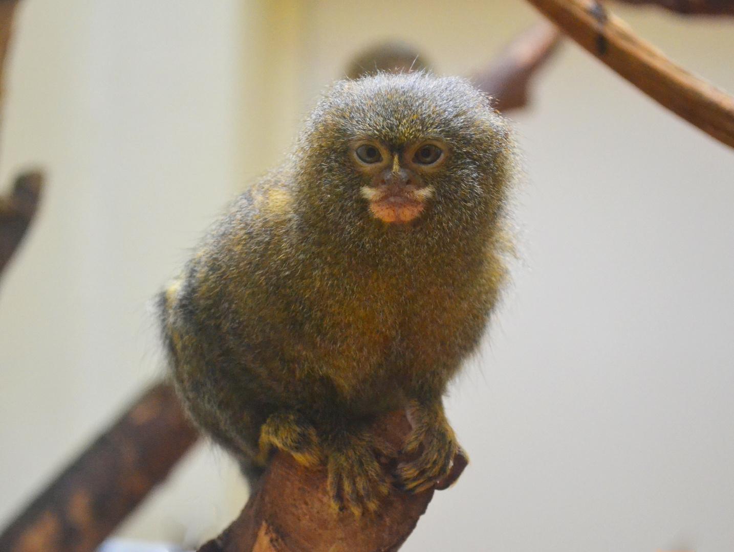 Zwergseidenäffchen im Zoo Mulhouse