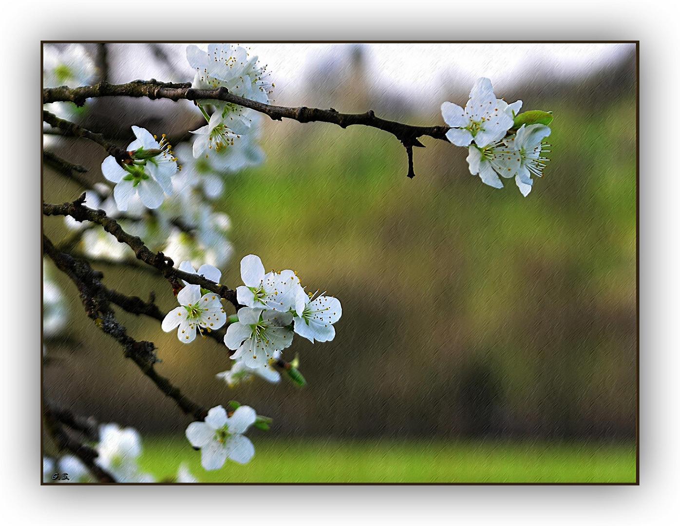 Zwetschgen- Blüte