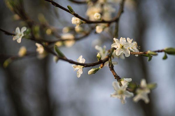 ~Zwetschgenblüten~
