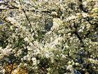Zwetschgenblüten