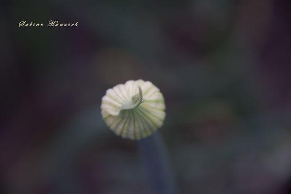 Zwiebelblüte