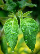 Zwillingsblätter im Regen